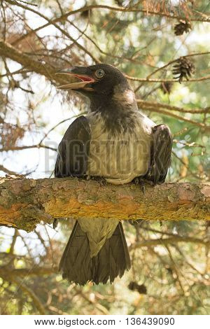 A crow on the tree branch. Young hooded crow. The Hooded Crow, Corvus cornix is a Eurasian bird species in the crow genus