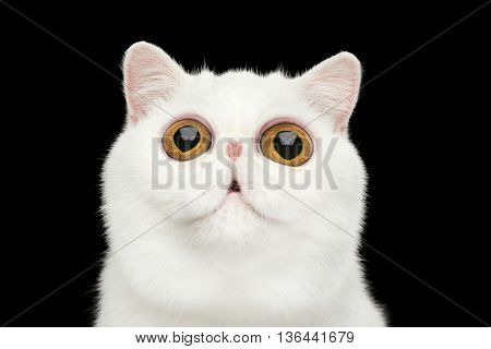 Close-up Funny Portrait of surprised Pure White Exotic Cat Head on Isolated Black Background Front view Curious fascinated Looking up Huge Eyes