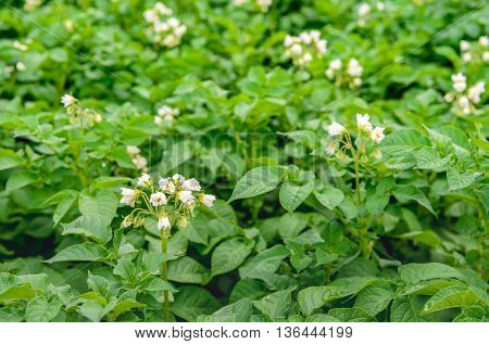 Closeup of a large Dutch field with organic cultivated potatoes. It's spring and white and yellow flowers are on the hairy stems of the plants.