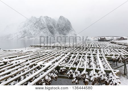Stockfish (cod) drying during winter time on Lofoten Islands Norway.
