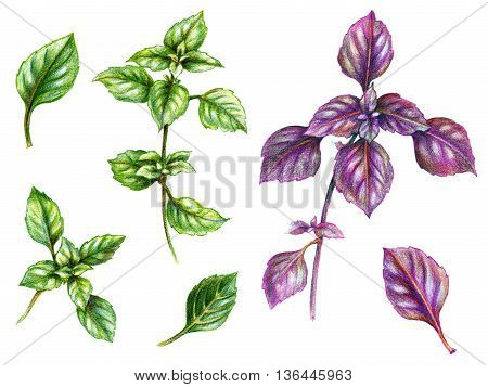 Hand drawn branches with leaves. Sketch of green and violet basil. Spice herbs set.
