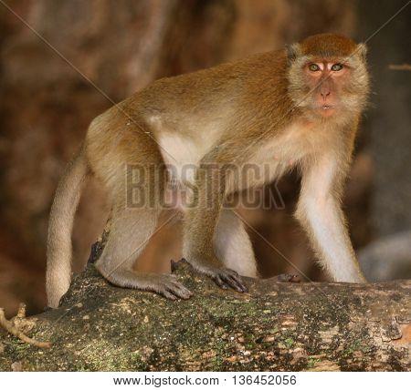 female Long-tailed Macaque at Railay Beach, near Ao Nung, Thailand