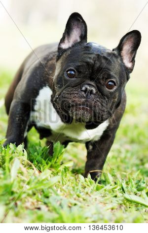 dog French bulldog in the summer on the nature standing and looking questioningly