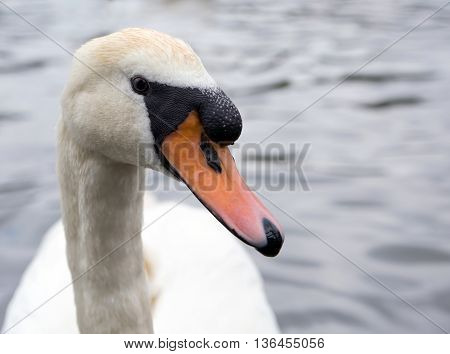 Close up portrait of white mute swan