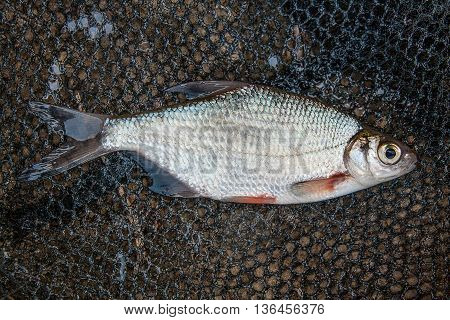 One Silver Bream Or White Bream Fish On Fishing Net.