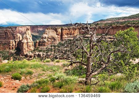 Dry Tree in Colorado National Monument in USA