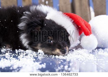 Havanese puppy dog in a Christmas - Santa hat.