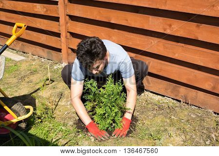 Man Plants Thuja In A Garden