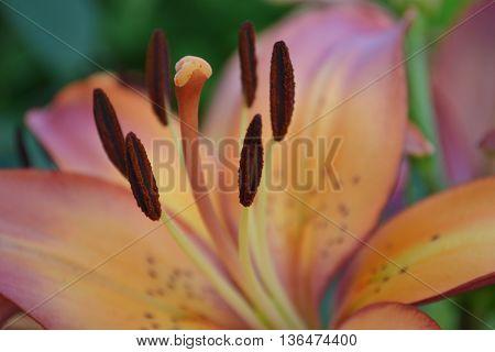 blooming lily flower,  macro photo, pistil and stamen