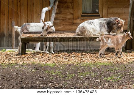 Alpine domestic goats eating prepared dried food in a wooden trough feeder in Austria, Europe