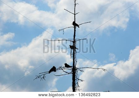 Silhouette of black crows perched on the spindly branches of a dead tree against a cloudy blue sky