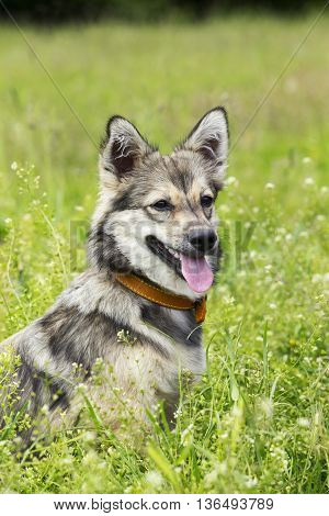 the dog breed Visigoth Spitz is sitting on green grass