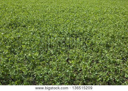 a background image of pea plants in summer with tendrils and white flowers