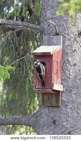 Woodpecker sitting on a red bird house trying to get the eggs inside