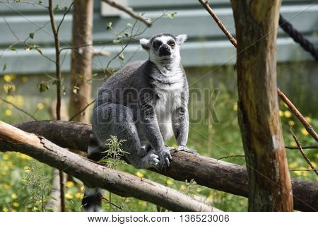 A Lemur (lemuridae) sitting on a log picture from a park in the North of Sweden.