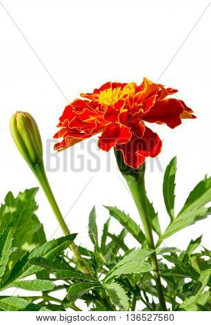 medicinal herb flower calendula (Calendula officinalis) isolated on a white background. selective focus shallow depth of field
