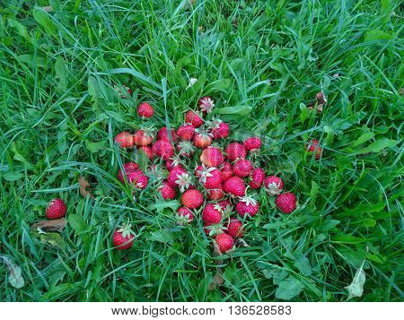 Red strawberries on green grass. Strawberry, fresh strawberry, ripe strawberry, healthy strawberry, strawberry closeup