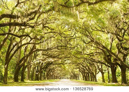 A plantation in Georgia reviles oak trees covered in Spanish moss along a dirt road.
