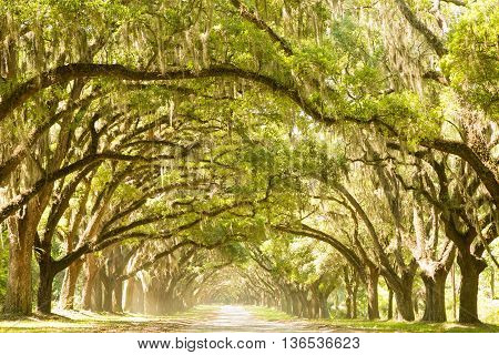 A plantation in Georgia revels oak trees covered in Spanish moss along a narrow, dirt road.