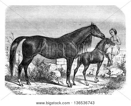 Arab mare and foal, vintage engraved illustration. Magasin Pittoresque 1861.