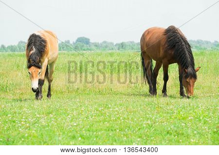 Belgian draft horse in the wild walking around on pasture