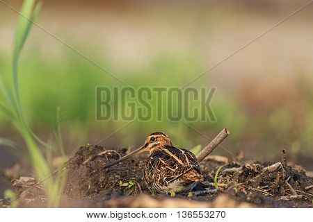 snipe masked among peat shore birds mimicry, protective color