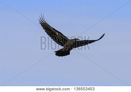 raven flying on a background of gray sky, a black bird flying