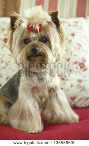 Cute Yorkshire Terrier sits on a red couch with lighter pillows
