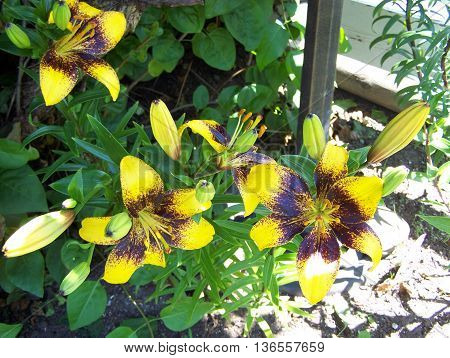 Yellow lilies with black inside colors in stamen