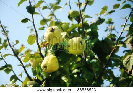 close up shot of quince tree with fresh quinces.