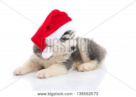 Siberian husky puppy in Santa Claus xmas red hat on white background isolted