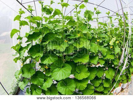 melon tree in house farm ,pesticide residue free farm