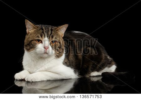 Sad Scottish Straight Cat White with Brown tabby Lying on Mirror Isolated Black Background Side view Looking down