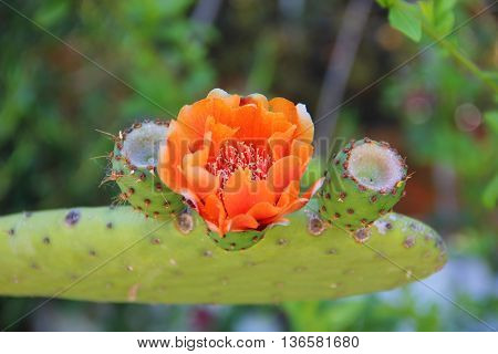 three Bud on a semicircular sheet of prickly cactus, one of them with orange flower