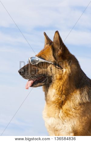 German shepherd with solar glasses on the bitch