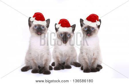 Siamese Kittens Having a Birthday Celebration