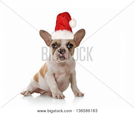 Sitting Puppy Dog With Cute Expression Studio Shot