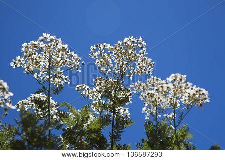 Tanacetum Ptarmiciflorum, Silver Lace Bush Or Silver Tansy
