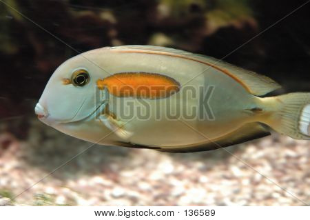 fish with orange spot poster