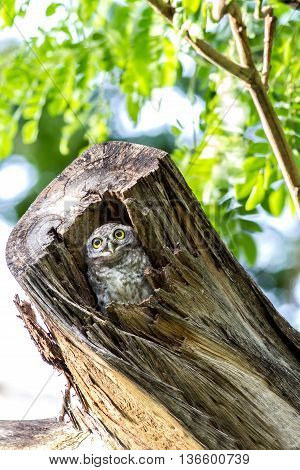 Owl (Spotted owlet) peeking out of a hollow in a tree trunk.