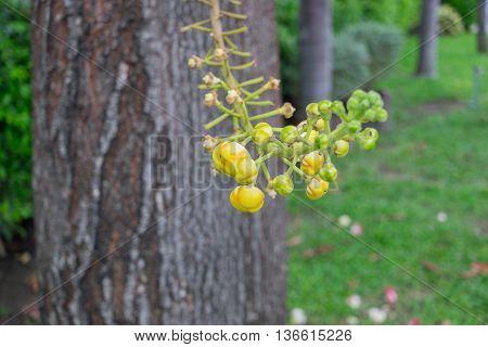 Canon ball tree ( sal Lanka sal ) budding flowers