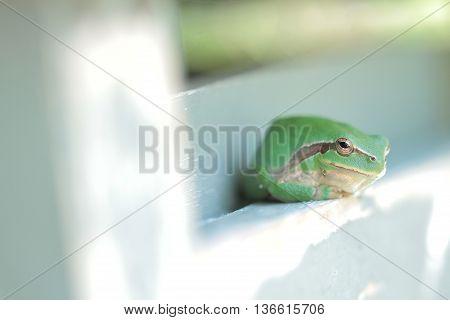 Grenouille verte, rainette, gros plan, sauvage, animal, amphibien