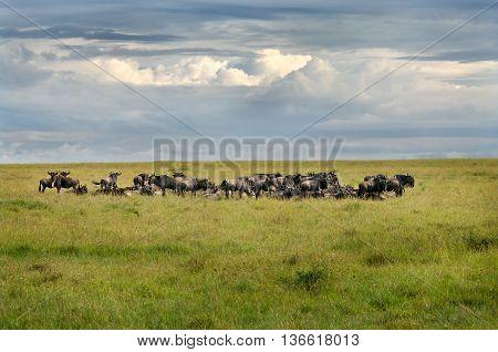 Wildebeest  In The Savanna
