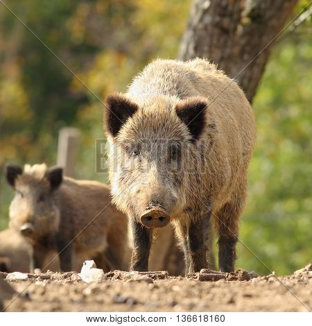 curious huge wild boar looking at the photographer ( Sus scrofa )