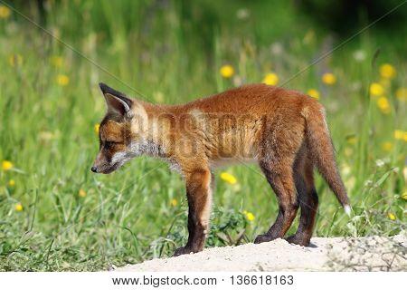 curious red fox cub near the burrow ( Vulpes vulpes )