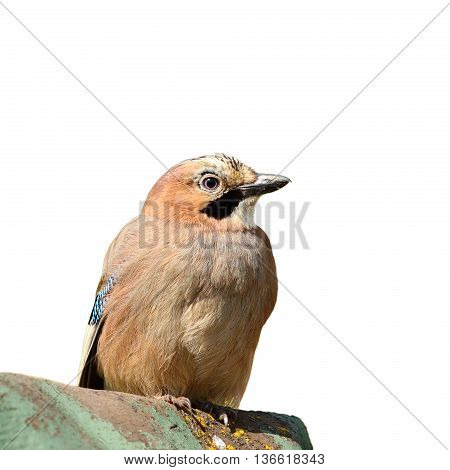 eurasian jay isolated over white background ( Garrulus glandarius )