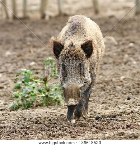 wild boar coming towards the camera ( Sus scrofa ) image taken in large enclosure