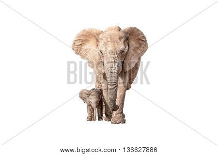 A tiny elephant calf Loxodonta africana walking next to its mother isolated on white