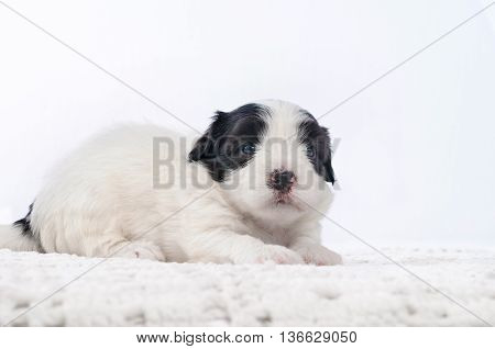 cute puppy is lying and looking at camera