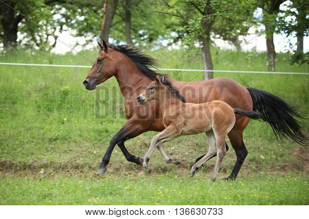 Lovely Couple - Mare With Its Foal - Running Together